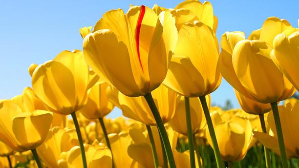 Casa Soumia Portugal tulipes